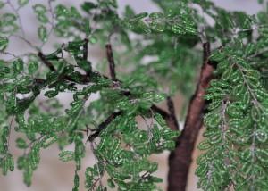 Acacia.The wood bead.