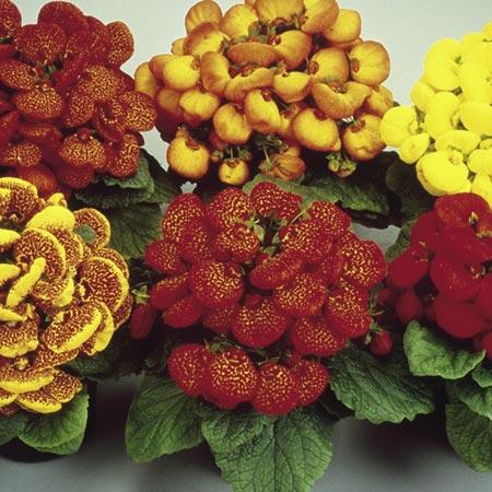 Як зв'язати гачком квітка кальцеолярии?